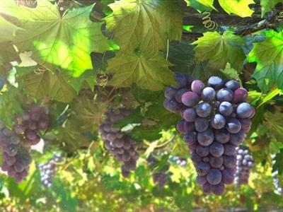 vinograd-rastet-ne-tolko-na-yuge