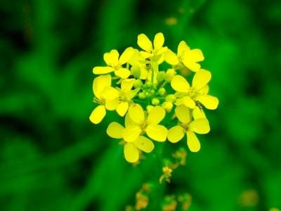 zelenoe-udobrenie-sideraty-na-priusadebnom-uchastke