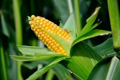 regulyatory-rosta-na-kukuruze