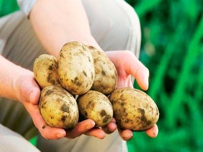 vliyanie-preparata-tsirkon-na-rost-razvitie-i-produktivnost-kartofelya-v-usloviyakh-karelii